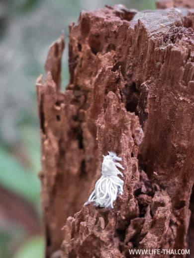 Нимфа цикады (nymph of a flatidae) в парке Таман Негара, Малайзия