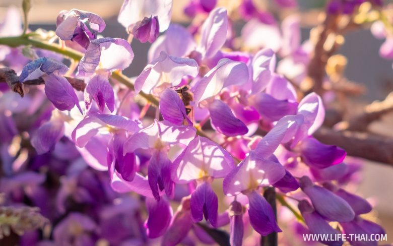 Глициния цветет в Черногории в апреле