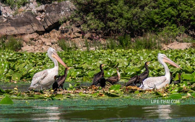 Пеликаны на Скадарском озере, Черногория