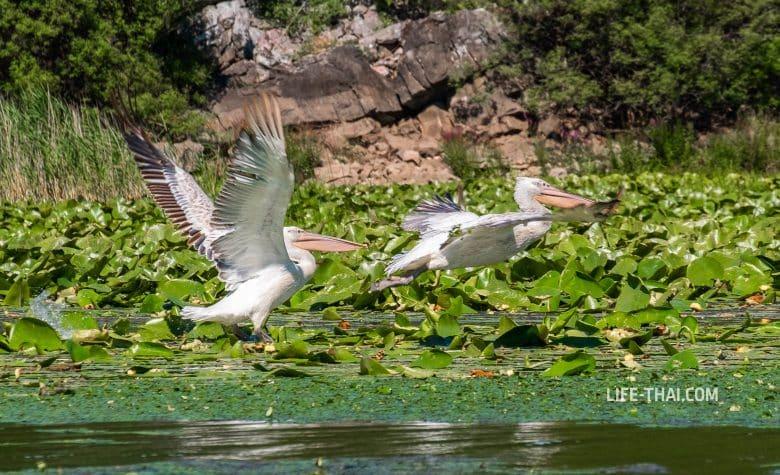 Где увидеть пеликанов в Черногории