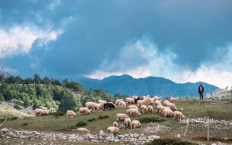 Стадо овец по дороге из Грло Соколово