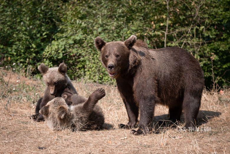 Дикие медведи в Румынии